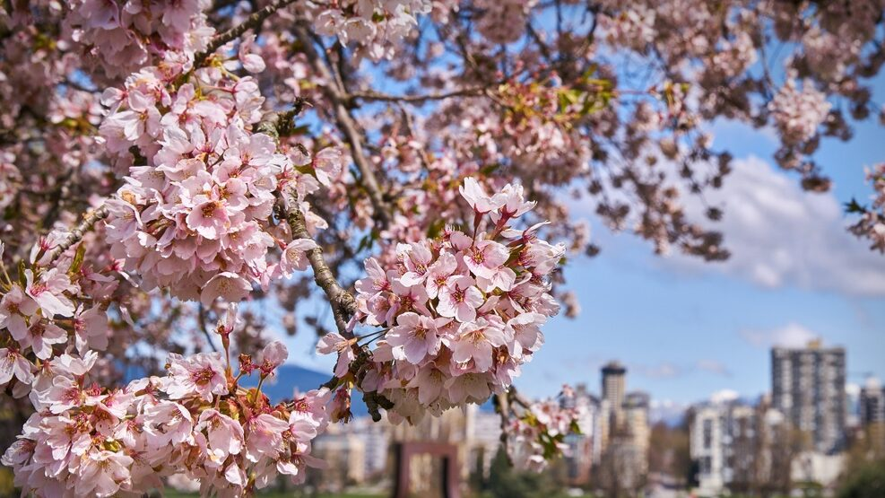 Close up of cherry blossoms with Vancouver cityscape in background.
